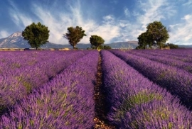 XXL Wallpaper Lavender 0310-1