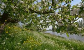 Noordwand Holland Fotobehang Appeldijkje Betuwe 5789