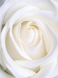 Dutch DigiWalls Fotobehang 70032 Witte roos