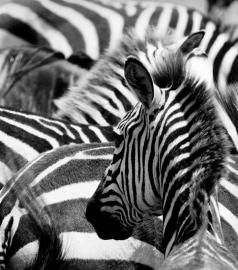 Dutch DigiWalls Fotobehang 70078 Zebra