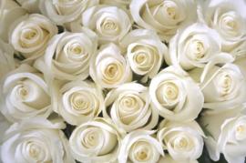 Papermoon Fotobehang Vlies Witte rozen 18326