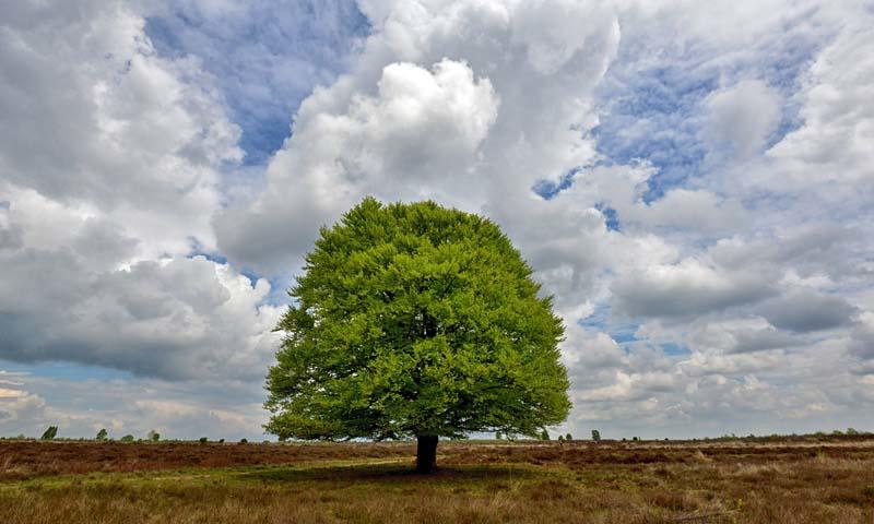 Noordwand Holland Fotobehang Beukenboom op de Heide 9621
