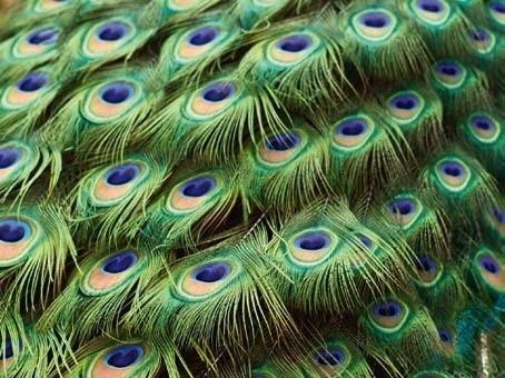 XXL Wallpaper Peacock 0312-3