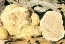 Witte Truffel*