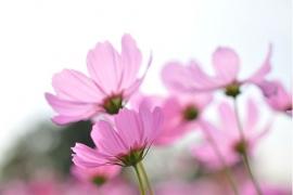 057. Esta Home PhotowallXL pink cosmos 158009