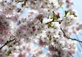 05. Komar Voorjaarbloesem Fotobehang National Geographic 8-507