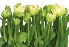 17. Komar Fotobehang Gele tulpen 8-900