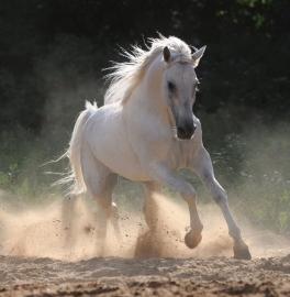 506 Dutch DigiWalls Fotobehang 70065 Paard