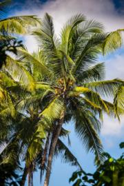 Bali Palmbomen