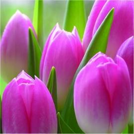 409 Dutch DigiWalls Fotobehang 70010 Tulpen