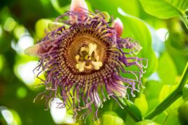 Bali Passiflora