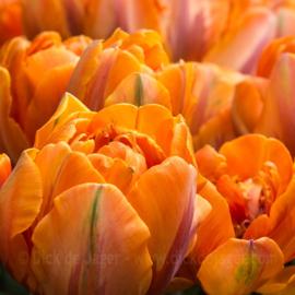 Tulpen - oranje
