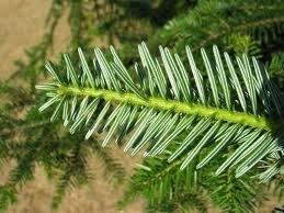 Alpen den   10ml Inci Pinus cenbra Oosterijk 100% natuurlijk