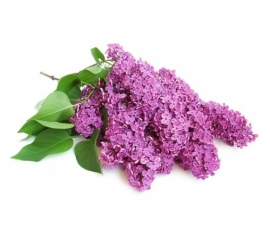 Lilac /Sering