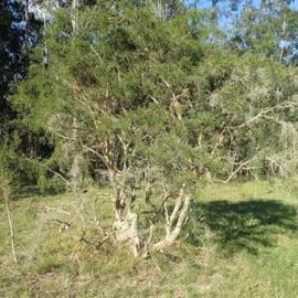 BIO Tea tree olie WILDPLUK  INCI Melaleuca alternifolia Australie