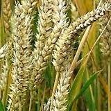 Tarwe proteine/Nuratin P INCI: Hydrolyzed wheat gluten,hydrolyzed wheat protein 100ml