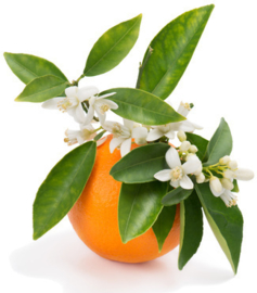 Petitgrain INCI; Citrus Amara Spanje