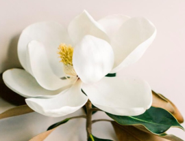White MagnoliaBB640