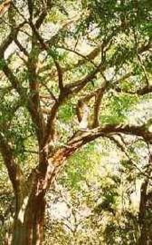 Rozenhout  INCI Aniba Roseodora Brazilie va10ml