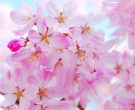 Cherry Blossem BB 1639