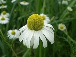 Kamillebloemen waterINCI: Anthemis noblis va 100ml