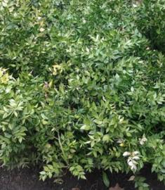 Muisdoorn extract of slagerbezem  INCI:Ruscus Aculeantus 100ml
