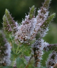 Kruizemint ,groene munt of Spearmint 10ml INCI Methea Spicata USA