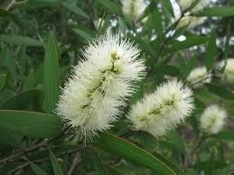 Niaulli  10ml INCI;Oleum melaleuca niauli ( natuuridentiek)