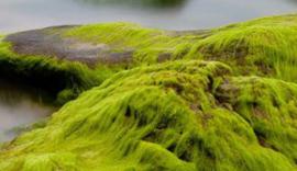 Sea Moss BB 1706