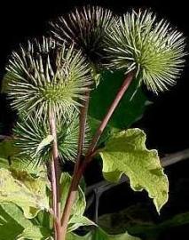Klitwortelolie INCI bardanae radix