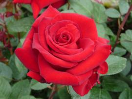 Rozenwater Bio va 50ml  Rosa Damascena Flower Water