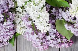 Lilac ( Sering)BB 841