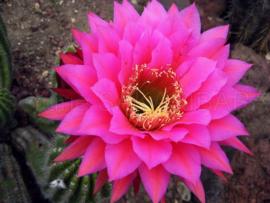 Kaktusbloem BESTSELLER