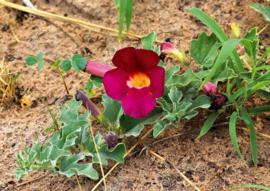 Duivelsklauw 50gr  Harpagophytum Procumbens.