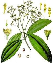 Cassia INCI Cinnamomum cassia nees ex flower oil