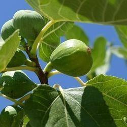 Green Fig ( Verse vijg) BB1303