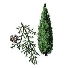 Cypres 10ml INCI:Cupressus sempervivens Frankrijk