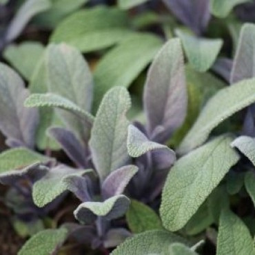 Salie INCI: Salvia officinalis dalmation