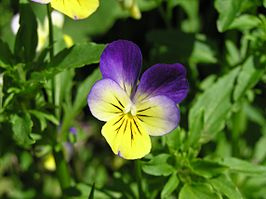 Driekleurig viooltje extract