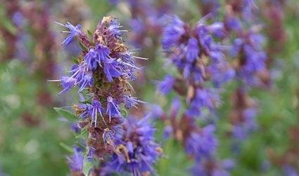 BIO HYssop INCI; Hyssopus officinalis