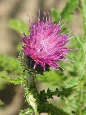 Distelolie/Saffloerolie INCI: Carthamus Tinctorius v.a. 100ml geraffineerd