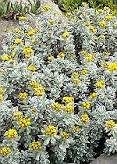 BIO Helichrysum ook wel Strobloem/immortelle  INCI Helichrysum Gymnocephalum 10ml