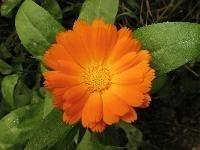 Calendulaolie INCI: Helianthus Annuus - Calendula officinalis va  100ml ( maceraat)