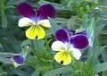 Drie kleurig viooltjes kruid 50gr