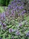 Salie 50gr Salvia officinalis