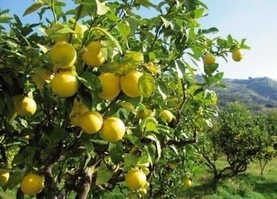 Bergamotte reggio 10ml INCI Citrus Bergamia Risso Italie 100% natuurlijk