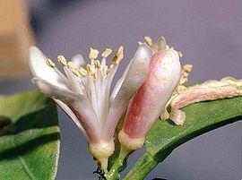 Tangerine INCI; citrus reticulata blanco Brazilie va 10ml