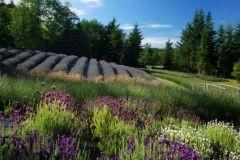 Lavendel Woods allergeen vrij