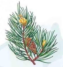 Latschenkieferolie ( bergden)10ml natuurlijk INCI; Pinus Mugo Turra-Balkan