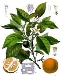 Sinaasappelbloesem /Nerolibloesem natuuridentiek